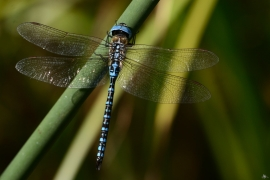 Aeshna affinis - Südliche Mosaikjungfer
