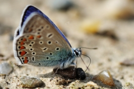 Lycaenidae - Bläulinge
