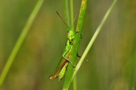 Orthoptera - Alben und Galerien
