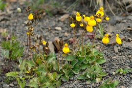 Calceolaria - Pantoffelblumen