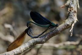 Calopterix virgo - Die Paarung