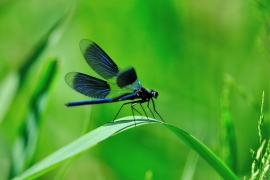 Calopteryx splendens - Gebänderte Prachtlibelle