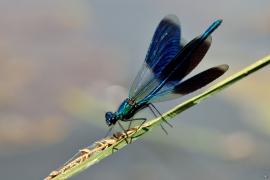 Calopterygidae - Prachtlibellen - Alben & Galerien