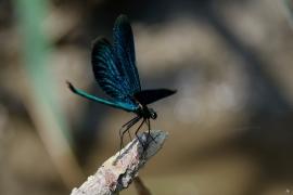 Calopteryx virgo - Blauflügel-Prachtlibelle