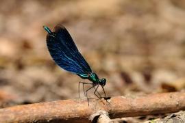 Calopteryx virgo - Der Balztanz
