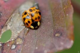 Coccinellidae - Marienkäfer