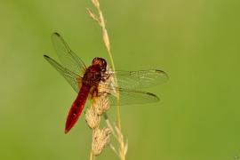Crocothemis erythraea - Feuerlibelle