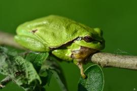 Hyla arborea - Europäischer Laubfrosch