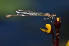 Die erste Lebensstunde eines Ischnura elegans Weibchens