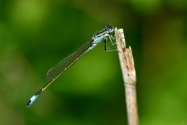 Ischnura elegans  - Große Pechlibelle