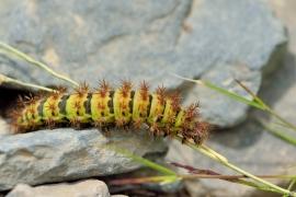 Larvae Patagoniens