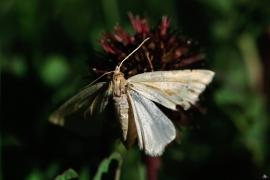 Lepidoptera Patagoniens