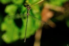 Lestes viridis - Westliche Weidenjungfer