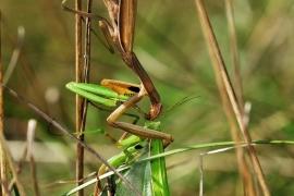 Mantis vs Mantis