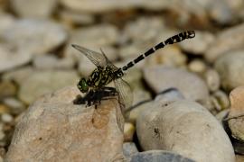 Kleine Zangenlibelle - Onychogomphus forcipatus