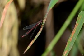 Pirrhosoma nymphula - Frühe Adonislibelle