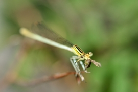 Platycnemididae - Federlibellen - Alben & Galerien
