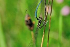 Platycnemis pennipes - Blaue Federlibelle