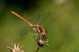 Sympetrum vulgatum - Gemeine Heidelibelle