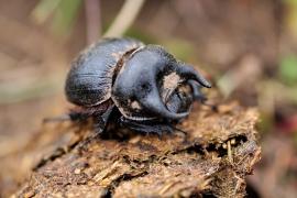 Coleoptera - Alben und Galerien