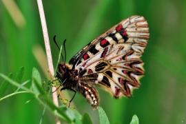 Zerynthia polyxena - Osterluzeifalter