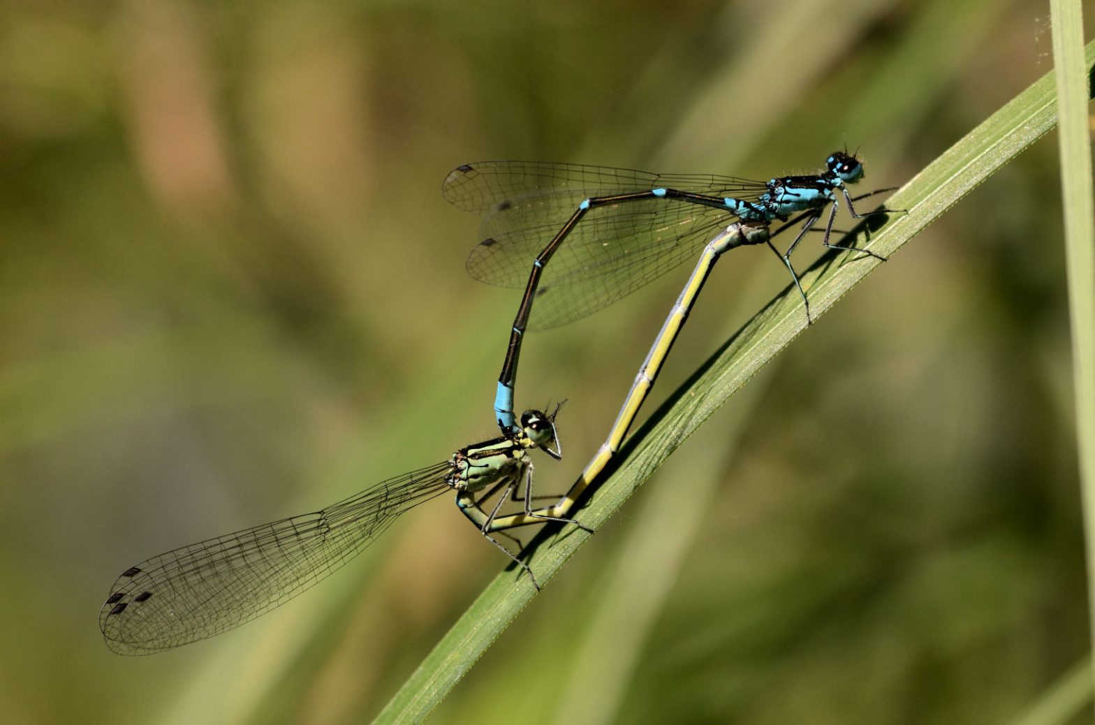 Coenagrion pulchelum - Fledermaus Jungfer