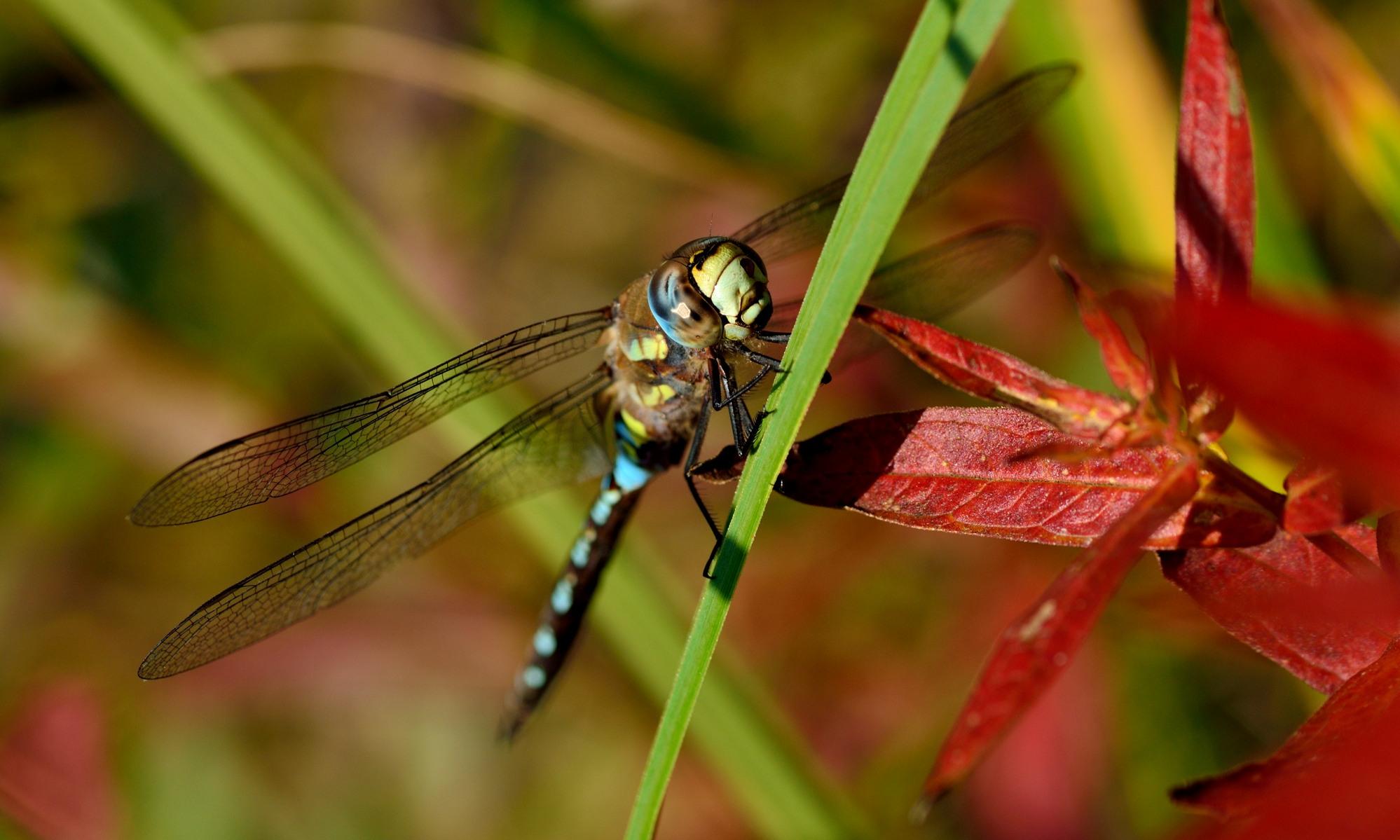 Aeshnidae - Edellibellen