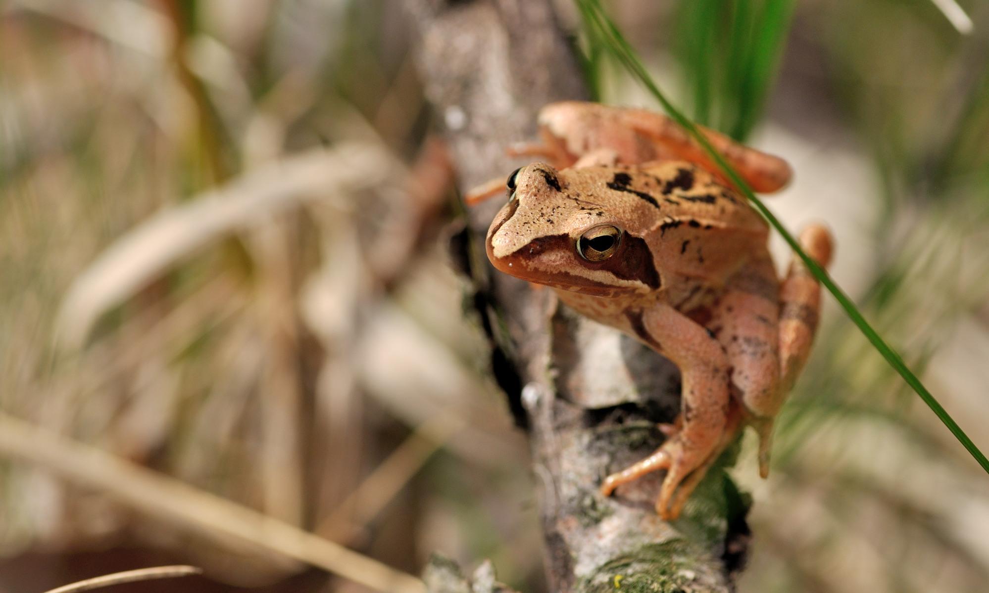 Amphibia - Lurche