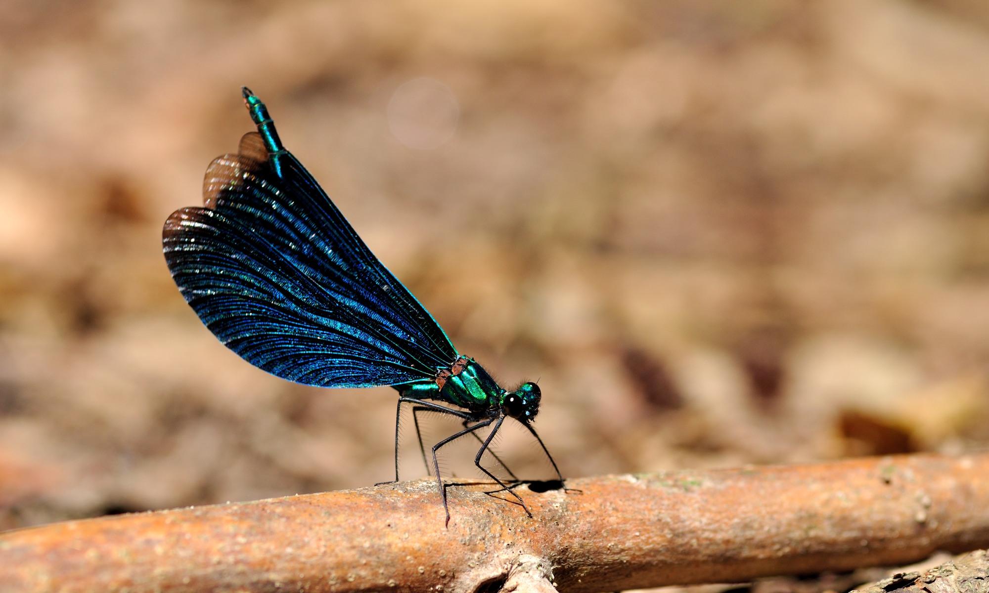 Calopterygidae – Prachtlibellen
