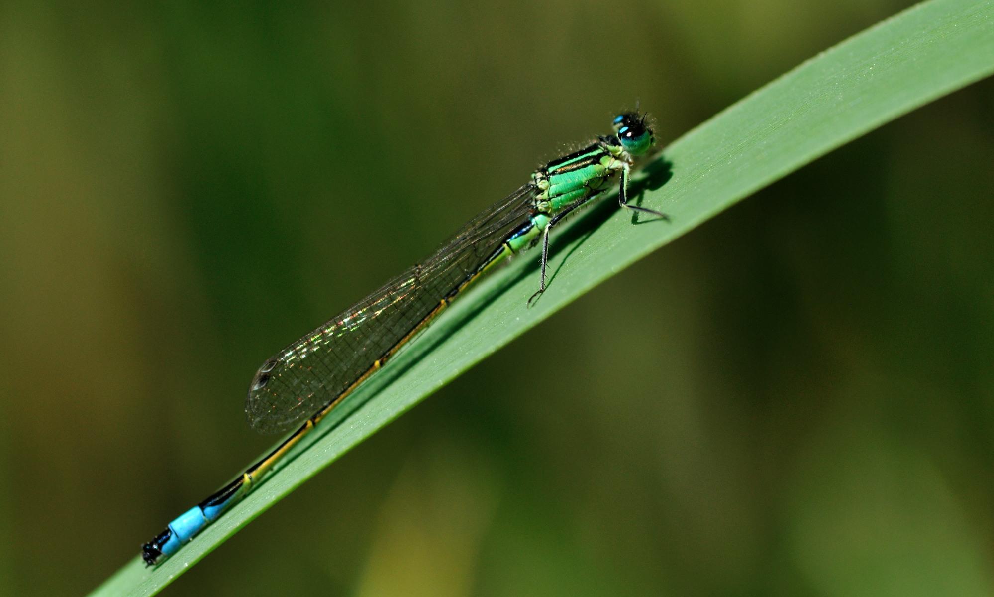 Coenagrionidae - Schlanklibellen