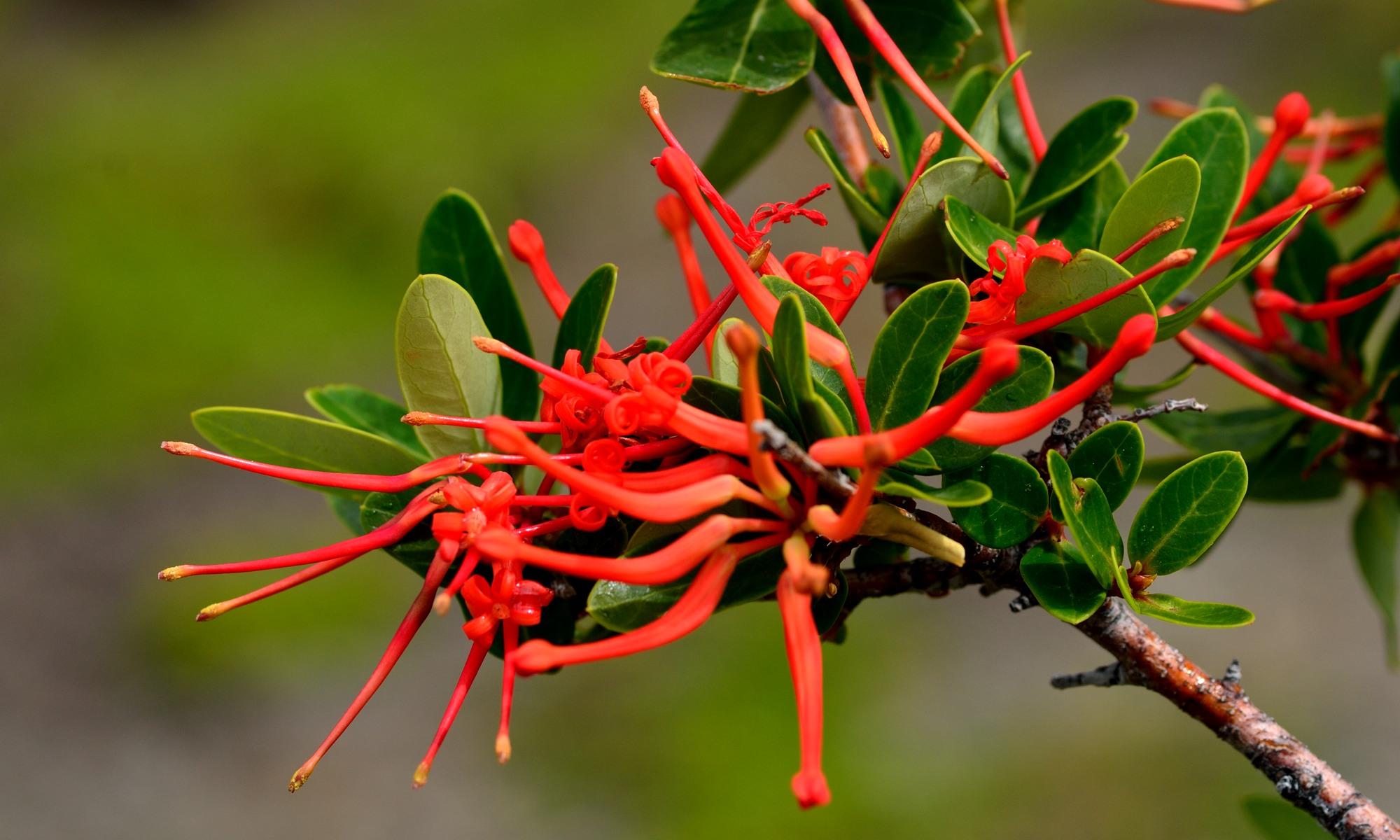 Flora Patagoniens