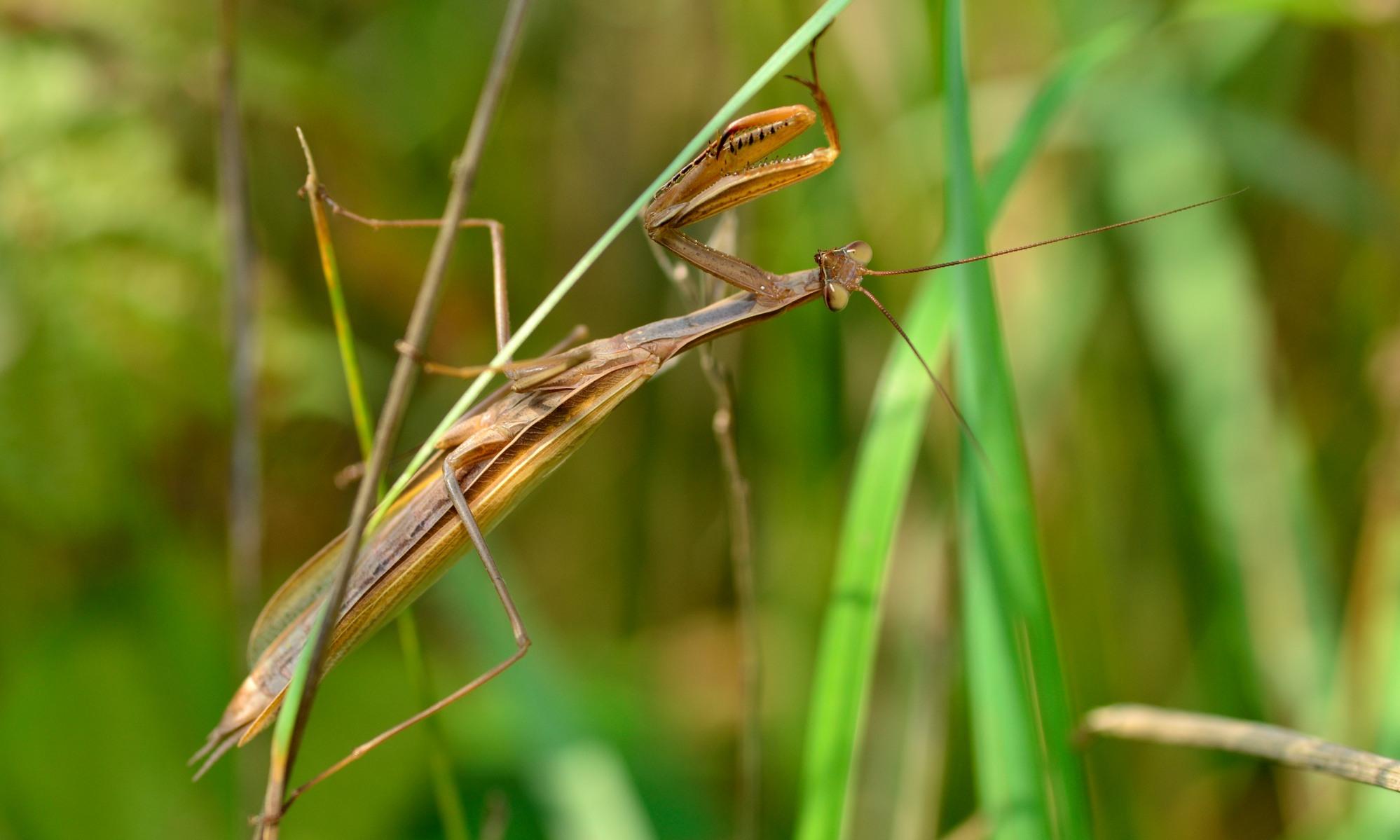 Gottesanbeterin - Mantodea