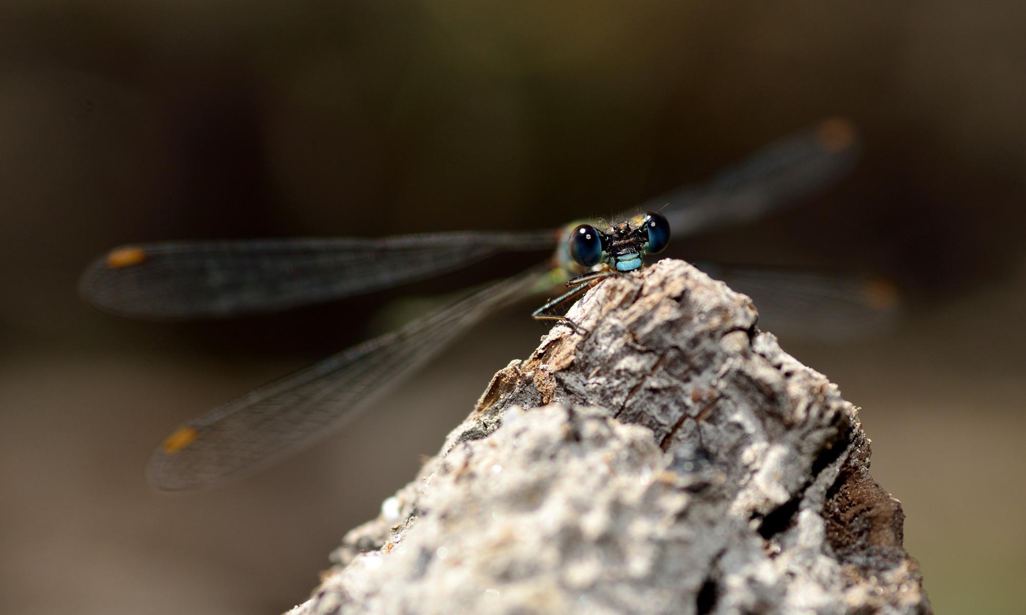 Lestidae - Teichjungfern