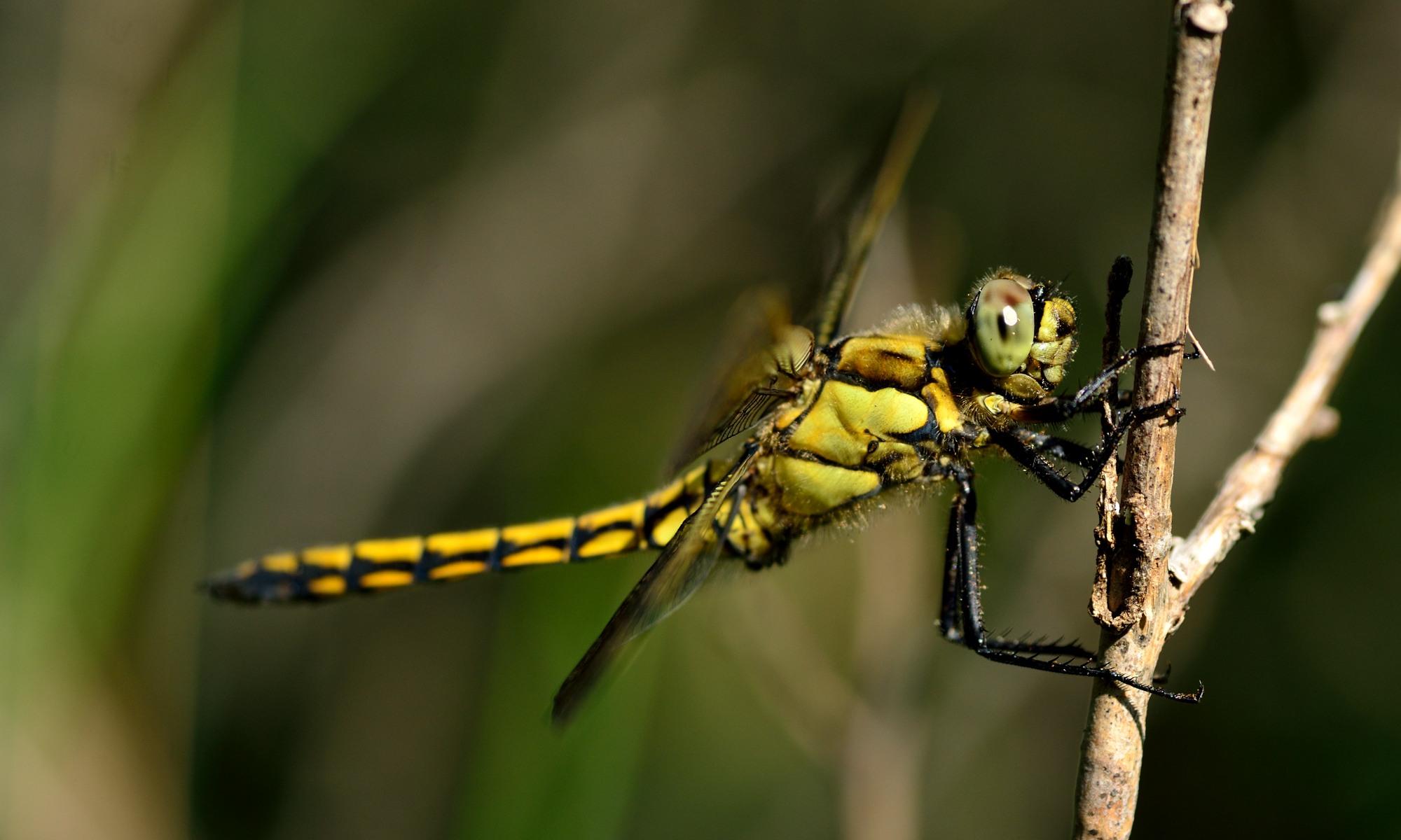 Libellulidae - Segellibellen