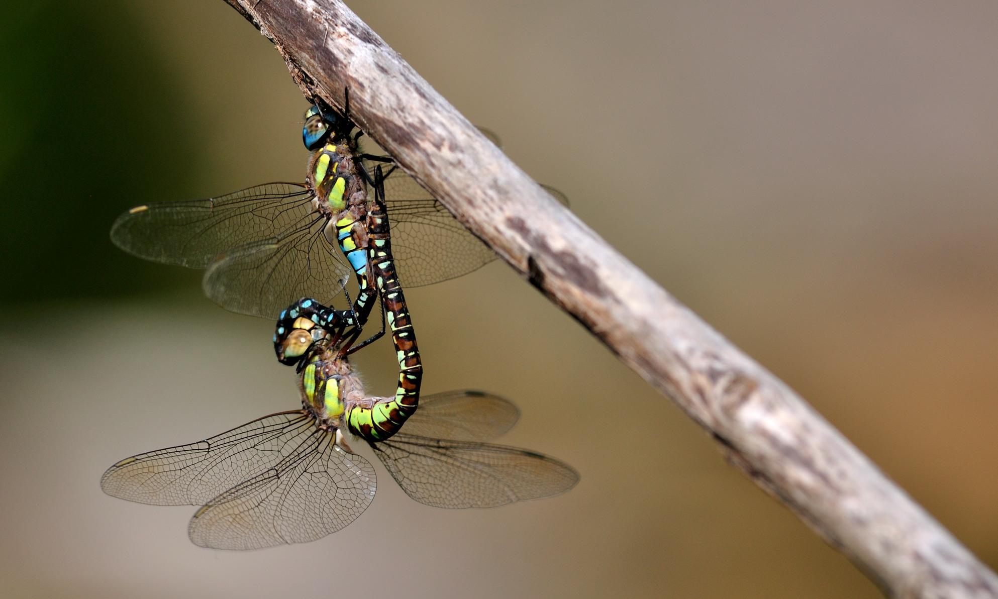 Odonata - Libellen
