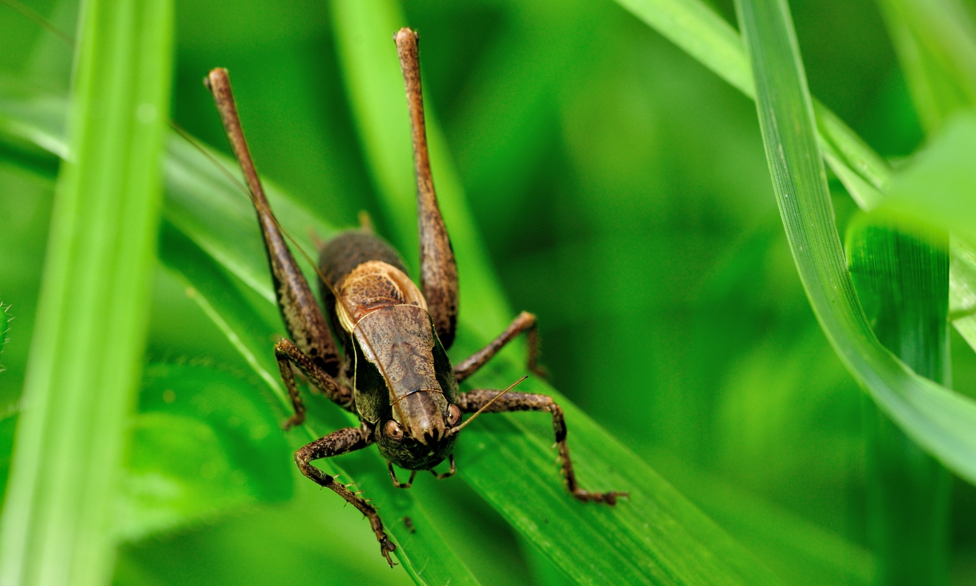 Orthoptera - Heuschrecke