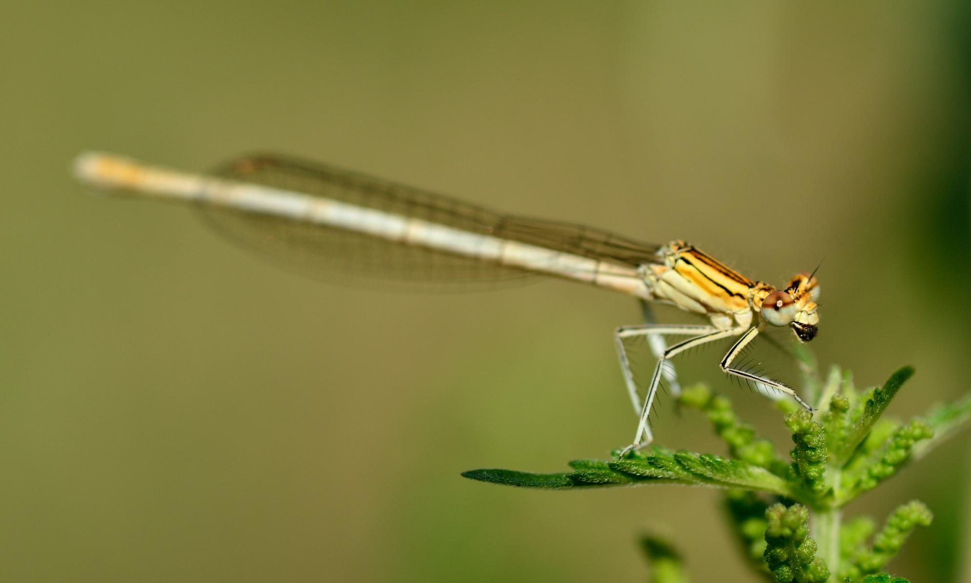 Platycnemididae - Federlibellen