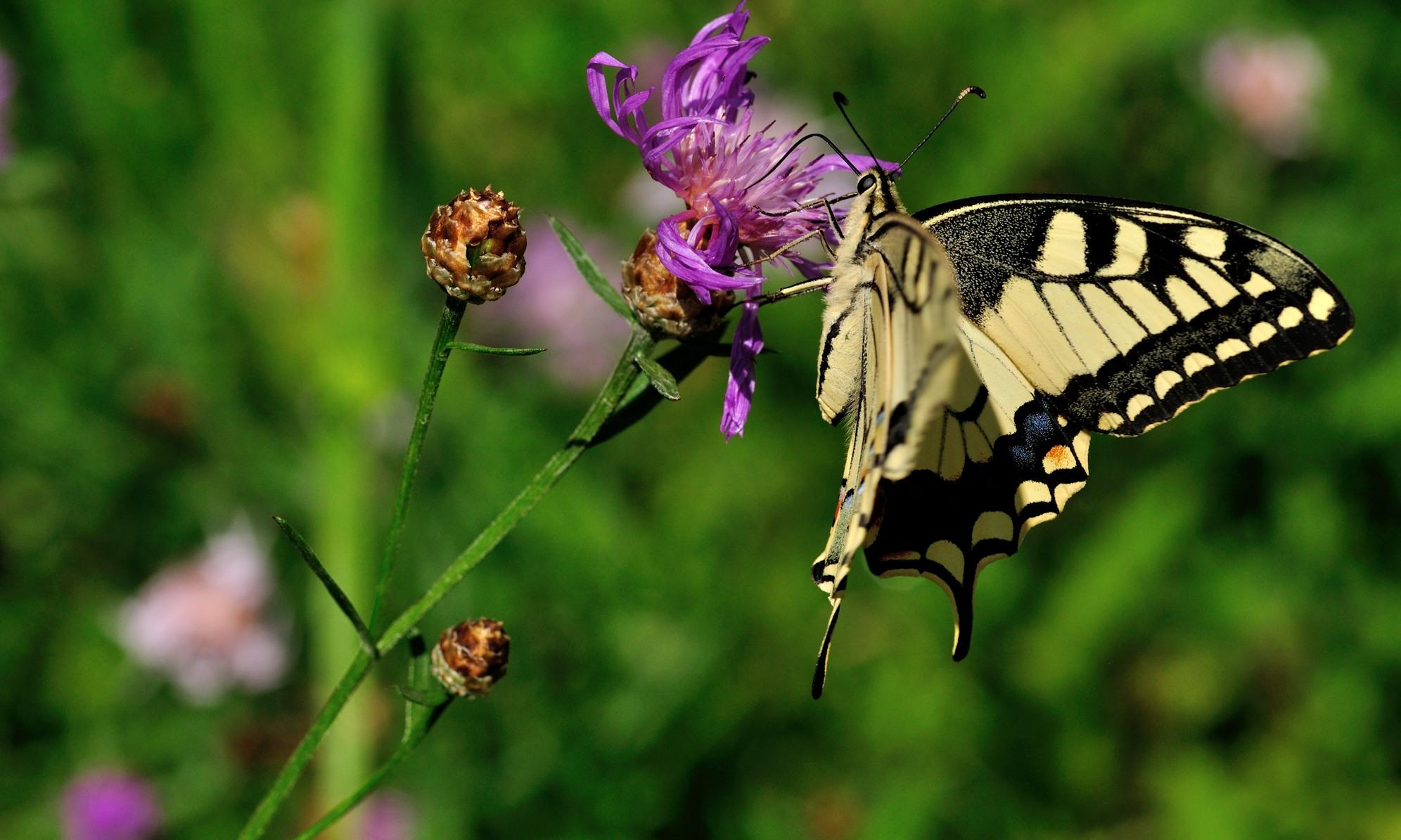 Schwalbenschwanz - Lepidoptera